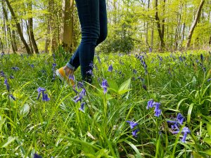 Tracing Bluebells in England at Chicksands Wood